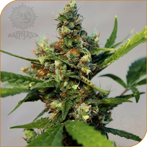 CBD Blue Shark